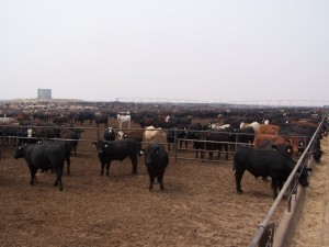 Cattle Feedlot. Hay