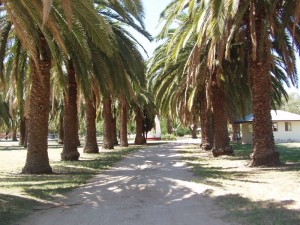 Avenue of Date Palms. Eugowra