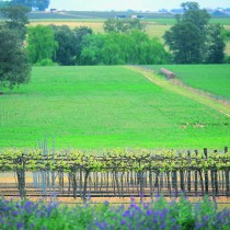 Vineyard on Flat. Cowra
