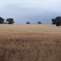 Wheat Cropping. Oxley Downs