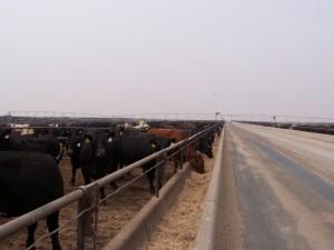 Cattle Feedlot. Hay