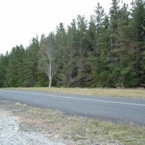 Pine Plantation. Oberon
