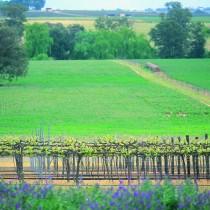 Vineyard on Flat. Cowra