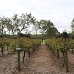 wivenhoe screencentral vineyard 2